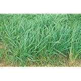 Orchard Grass Seed (Paiute - Certified) - 5 Pound - Wizard Seed LLC