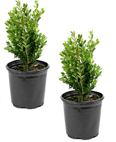 Cottage Hill Boxwood 'Wintergreen' - 2 Piece Live Plant Green (Best Shrubs For Zone 6)