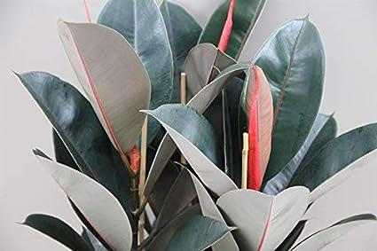 Planta de interior - Planta para la casa o la oficina - Ficus elastica - Planta de goma - 1,1 metros