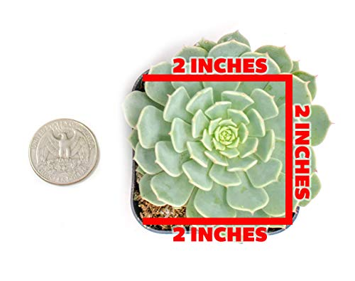 Succulent Plants | 20 Echeveria Succulents | Rooted in Planter Pots with Soil |Real Live Indoor Plants | Gifts or Room Decor by Plants for Pets by Plants for Pets (Image #1)