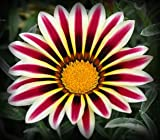 Frosty Kiss Wine Gazania Seeds Flower Seeds Harvested Fresh in Fall FREE PACK INCLUDED