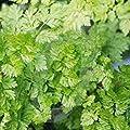 vegherb Chervil Seeds, Heirloom, Organic, Non-GMO, (100+) Chervil Seeds