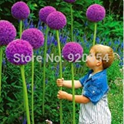 Rare flower, 20pcs/bag Giant Onion (Allium giganteum) seed beautiful flower bonsai plant home garden free shipping