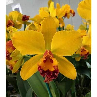 "BIN) Pot Skyscape # 63 Cattleya Orchid Plant 5"" Pot : Garden & Outdoor"