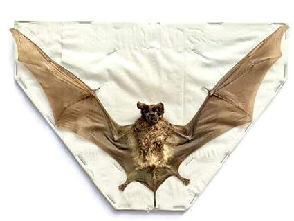 Real Bat Taxidermy Java Giant Mastiff Bat Full Spread - Otomops