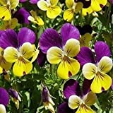 Viola Johnny Jump Up Flower Seeds (Viola Tricolor) 400+Seeds
