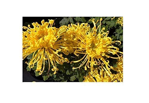 20x Japanese Spider Mums Yellow-Orange Seeds Sow Plant Flowers # 8