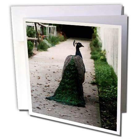 - 3dRose BlakCircleGirl - Animal - Peacock Path - Gorgeous Peacock Strutting his Stuff - 12 Greeting Cards with envelopes (gc_301243_2)