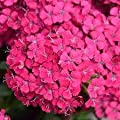 """(4"""") Dianthus 'Jolt Cherry' (Groundcover) - Vibrant Pinkish Red Blooms Highlight Attractive Blue-gray Foliage. Fragrant, Great For Borders, Containers and Highlight for Yards and Gardens"""