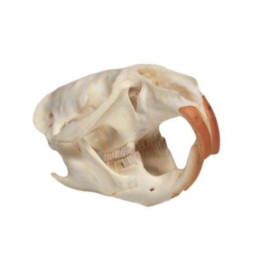 Skull Rat (Muskrat Skull)