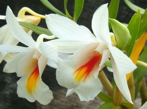 Dendrobium christyanum - Orchids - 100 seeds