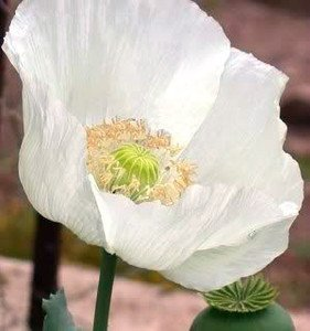 500 Persian White Poppy Seeds / Currently Buy One Get One Free/
