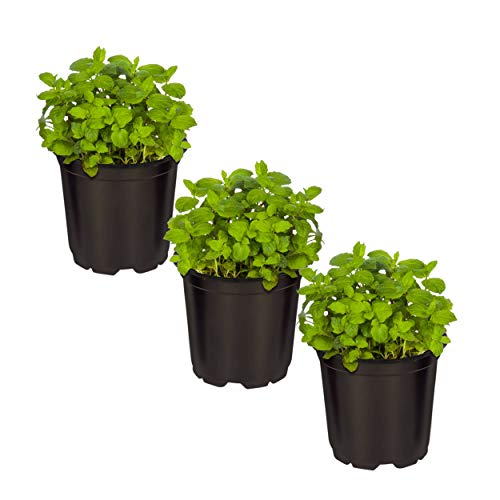 The Three Company Aromatic and Edible 4.5 Live Mint (3 Per Pack), Natural Air Purifier, Comes with Free Bonus Plant