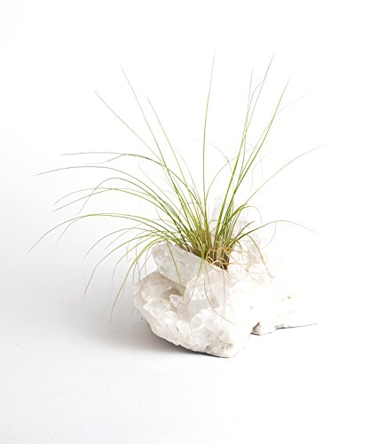 Shop Succulents Clear Quartz Cluster with Air Plant