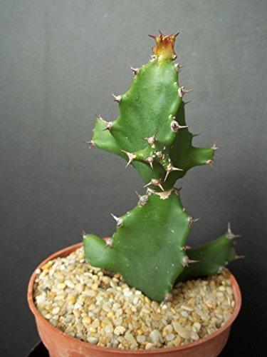 EUPHORBIA TORTILIS, African Milk Tree rare spilralis plant exotic succulent 4