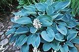 5 graines de FUNKIA BLEU(Hosta Sieboldiana Elegans)G513 BLUE PLANTAIN LILY SEEDS