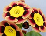 Primula Polyantha Gigantea Flower Seeds perennial Garden Decoration Bonsai Seeds 100 Seeds 6 #32703638162ST