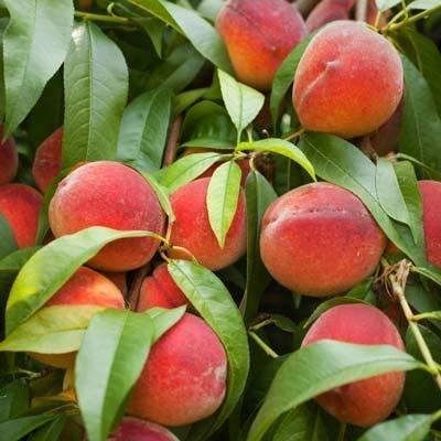 Contender Peach Tree - 2-3 ft.