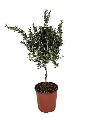 Live Rosemary Tree Topiary - 6 1/2