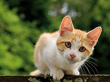 Amazoncom Cats Poster Photo Wallpaper Ginger And White