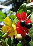 1 Ochna Serrulata Mouse Plant Beauty Fresh Live Plant