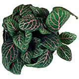 Root Bridges Red Fittonia Plant (Pot Included)