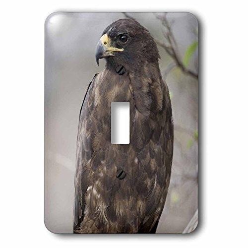 (3dRose lsp_86439_1 Galapagos Islands Np, Isabella, Galapagos Hawk Sa07 Pso0091 Paul Souders Single Toggle Switch )
