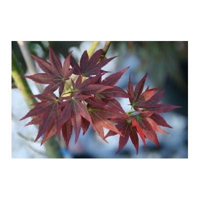 Kurenai Jishi Dwarf Japanese Maple 1 - Year Live Plant : Garden & Outdoor