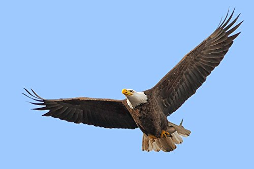 - Quality Prints - Laminated 36x24 Vibrant Durable Photo Poster - American Bald Eagle in Flight with Its Fish Catch