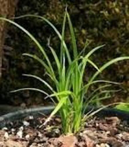 FARMERLY Las Semillas orgánicas: El Jardinero Sucio Carex Obnupta ...