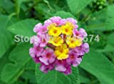 100 pcs / bag, Lantana seeds, potted seed, flower seed, variety complete, the budding rate 95%, (Mixed colors)