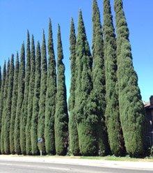 Bonsai Boy\'s Italian Cypress Evergreen Bonsai Tree - Medium cupressus sempervirens