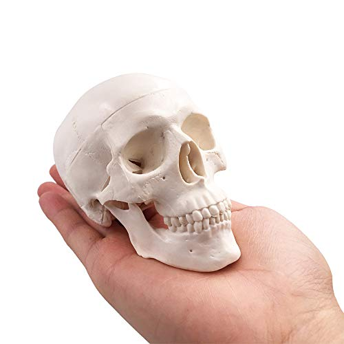 Mini Skull Model - Small Size Human Medical Anatomical Adult Head Bone for Education
