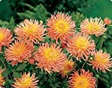 5 Cactus Dahlia Alfred Grille bulb