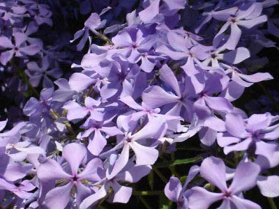 (10 Creeping Phlox Lavender Live Bare Root Healthy Plants Perennial Fresh Beauty)