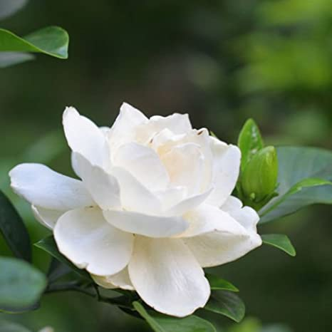 Magnolia Flower Name In Urdu Best Flower Wallpaper