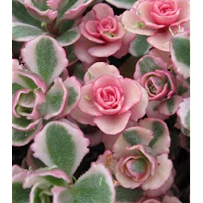 Plant Tricolor Sedum Spurium Succulent Variegated Stonecrop Succulents in 2 inch Pot Get Five Rooted cuttings #KG01YN : Garden & Outdoor