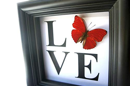 Real Sangaris Butterfly Display Shadow Box