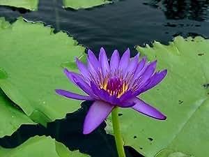 Nymphaea Capensis morado Tropical agua Lily Semillas