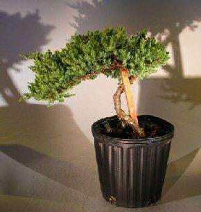 Bonsaiboy Pre Bonsai Juniper Bonsai Tree - Staked (Juniper Procumbens nana) by Bonsai Boy