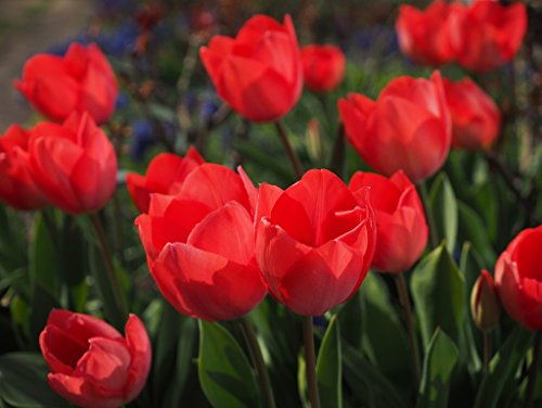 Lais Puzzle Tulipani 1000 Pezzi