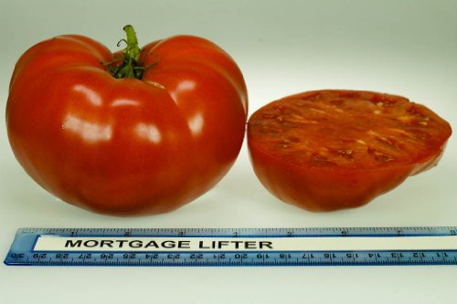 Clovers Garden Mortgage Lifter Tomato Plant - Two (2) Live Plants - Not Seeds - each 5