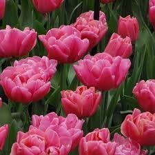 (25 Quality Tulip Bulbs - Sunset Tropical (Double Bloom - Pink) - Imported from Holland)