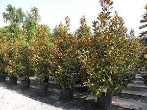 Amazon Com Magnolia Bracken Brown Beauty Fragrant Flowers Likes