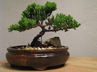 Bonsai Live Tree Flowering Xmas Juniper Live Plant Great Gift Pot Home Decor New