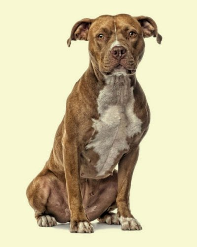 American Staffordshire Terrier Dogs - 3