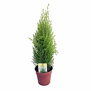 "Lemon Scented Goldcrest Cypress Tree - Indoors/Out - 4.5"" Pot"