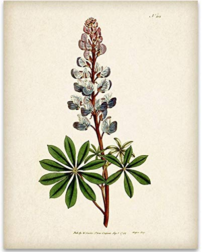Texas Bluebonnet Illustration - 11x14 Unframed Art Print - Great Wall Decor Under $15 for Bathrooms and Bedrooms