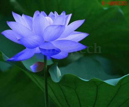 a-10pcs-lotus-bowl-water-lily-nelumbo-nymphaea-pond-plants-balcony-flower-seeds