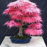 Fash Lady 40 pcs/Bag Japanese Maple Seeds, Toronto Maple Leafs, Bonsai Tree Seeds Perennial Flowers Plant Pot fire Maple for Home Garden 11